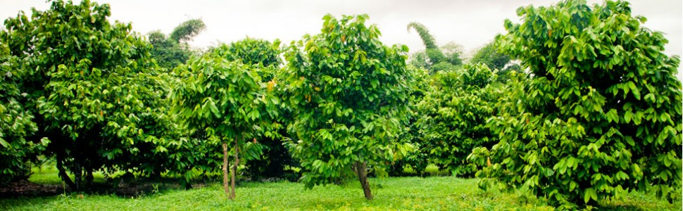 Our GoalThe aim of the association is to work towards the sustainability of the cocoa economy within Jamaica.
